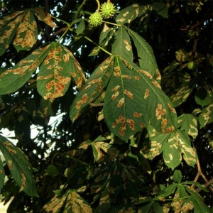 Leaf blotch is chestnut trees is unsightly but not fatal
