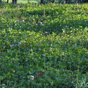 Clover lawn supports pollinators