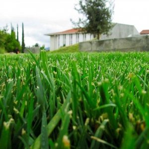 Tips of grass have been ripped and lost moisture from dull blades