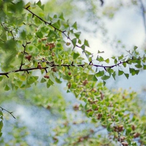 Ginkgo/Maidenhair Tree: resistant to drought