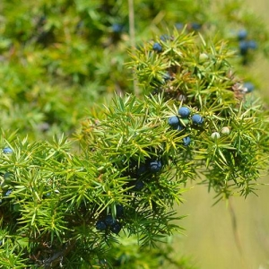 Common Juniper: resistant to drought and extreme temperatures