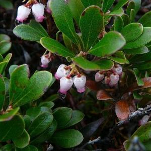 Bearberry/Kinnikinnick: evergreen groundcover that shields the soil