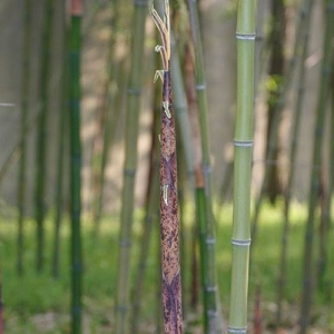 Bamboo: good for separating spaces and creating privacy