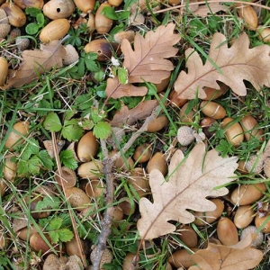 Oak Trees: can play with acorns