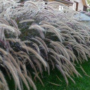 Tall Grasses: can play with leaves and plumes