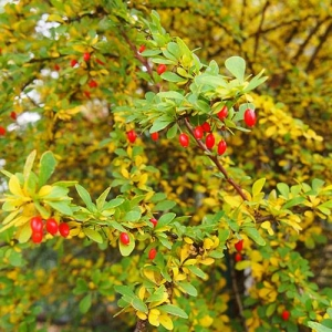 Japanese Barberry: dense foliage and thorns make a physical barrier