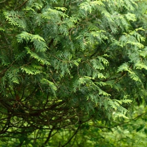 White Cedar: thick evergreen foliage creates a visual barrier and wind protection