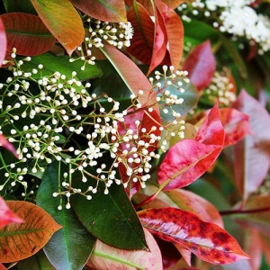 Photinia: wide, rubbery, evergreen leaves protect from wind and create privacy