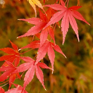 Japanese Maple: leaves can have many fall colours: yellow, bronze, purple, red