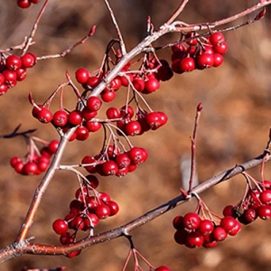 Red Chokeberry: bunches of bright red persistent berries