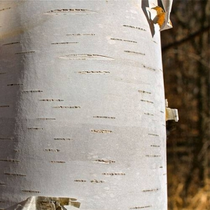 Paper Birch: bright white peeling bark