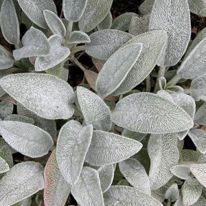 Lamb's Ear: Fuzzy and soft to touch.