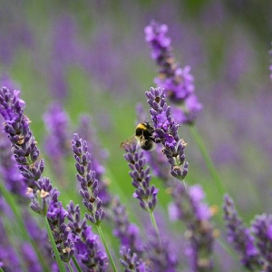 Lavender: pleasant and calming fragrance.