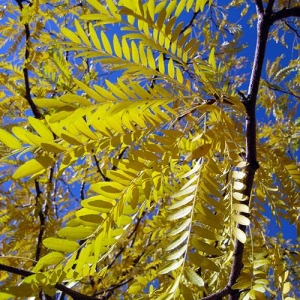 Thornless Honey Locust: feathery leaves create light shade