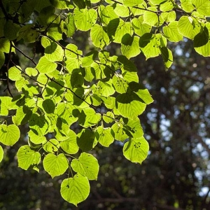 Small-leaved Linden: heart-shaped leaves with dense shade