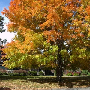 Sugar Maple: dense shade