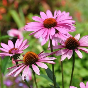 Purple Coneflower: for all-day sun