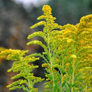 Goldenrod: tolerates urban pollution and road salt