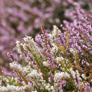 Heather: for acidic soils (low pH)