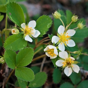 Wild Strawberry: deer resistant