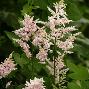 Astilbe: for deep shade