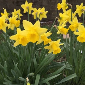 Daffodils: Don't worry, these are just an example of the many common plants that are mildly irritating to skin and eyes