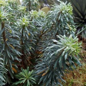 Euphorbia: poisonous; skin & eye irritant