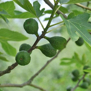 Fig: delicious fruit but sap and leaves are irritants