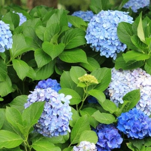 Hydrangea: the whole plant is poisonous