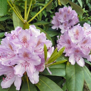 Rhododendron: the whole plant is poisonous