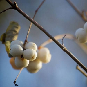 Snowberry: poisonous berries