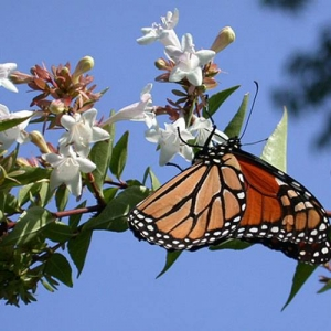 Abelia: flowers attract butterflies
