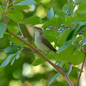 Dogwood: attracts song and upland groundbirds, small mammals, hoofed browsers, and waterbirds