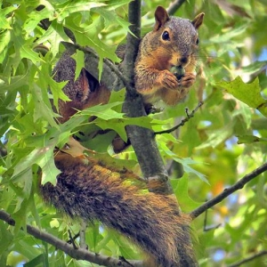 Oak: attracts squirrels, as well as other small mammals, birds, and hoofed browsers