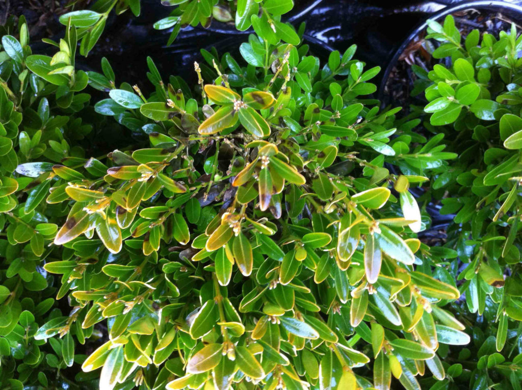 Diseases like boxwood blight should be addressed as soon as they are discovered. Image: Oregon Department of Agriculture
