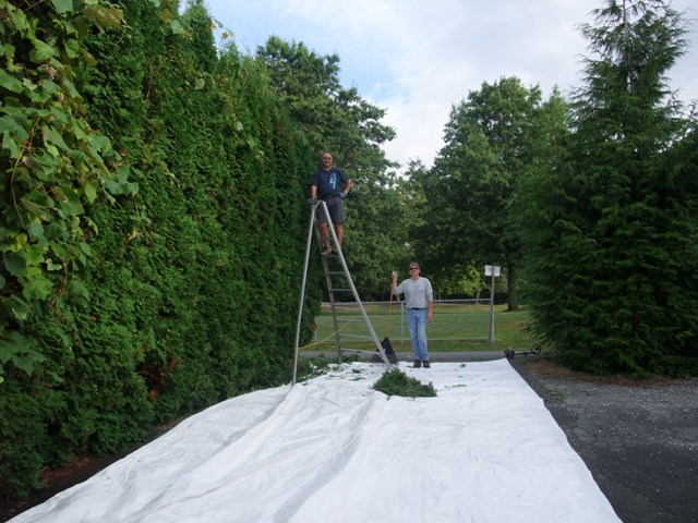 Clipping a tall hedge (Image: United Way of the Lower Mainland)